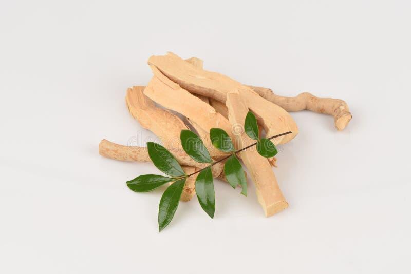 Folhas de Tongkat Ali (jaque do longifolia de Eurycoma) imagens de stock
