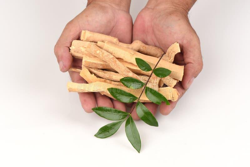 Folhas de Tongkat Ali (jaque do longifolia de Eurycoma) foto de stock