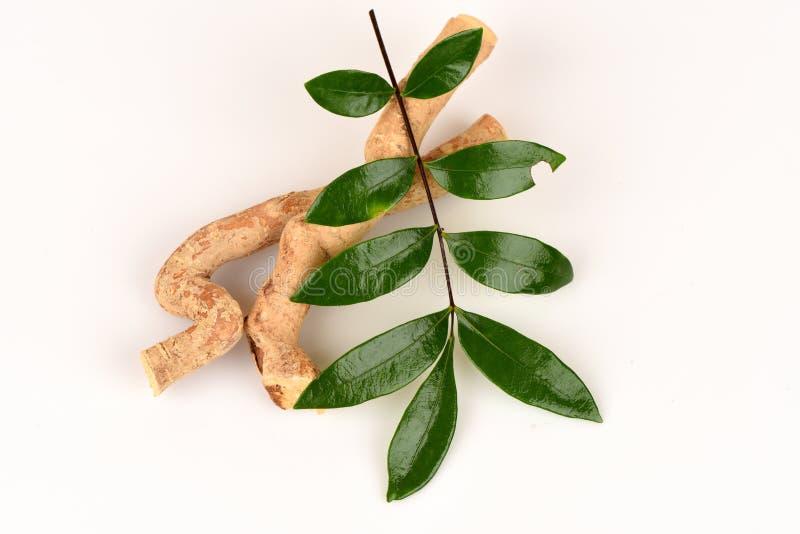 Folhas de Tongkat Ali (jaque do longifolia de Eurycoma) fotografia de stock royalty free