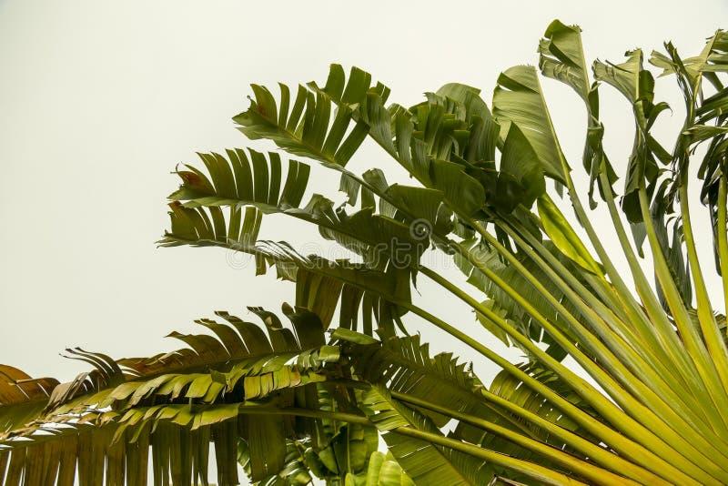Folhas de Tripical foto de stock