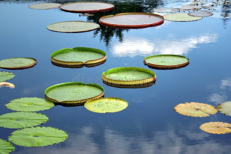 Folhas de um cruziana de Victoria do lírio de água de Santa Cruz fotos de stock
