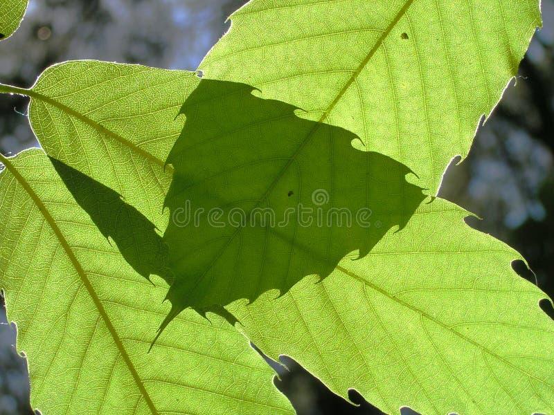 Folhas de uma árvore de castanha imagem de stock