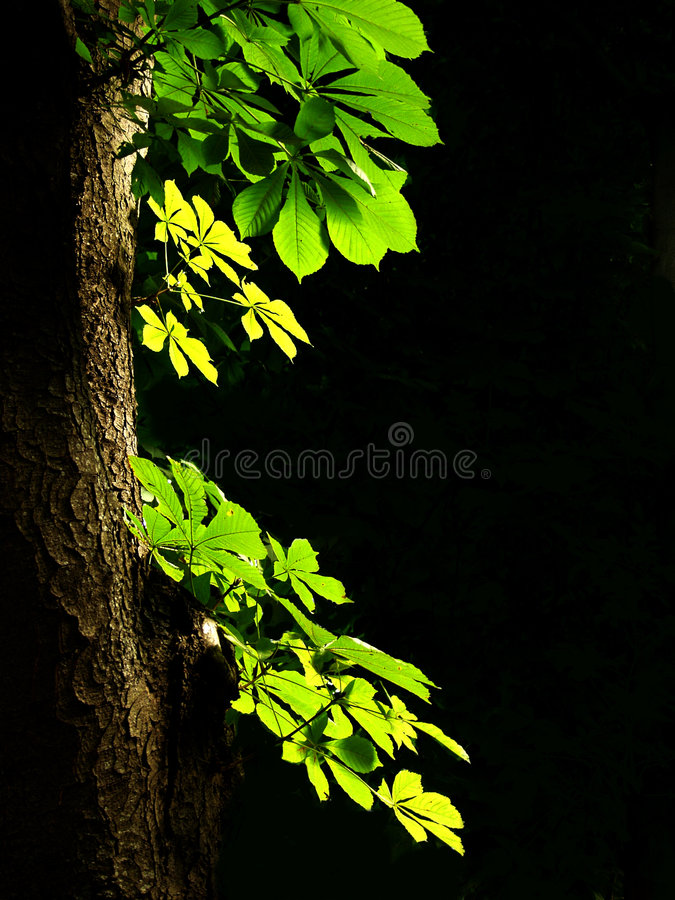 Folhas de uma castanha imagem de stock royalty free