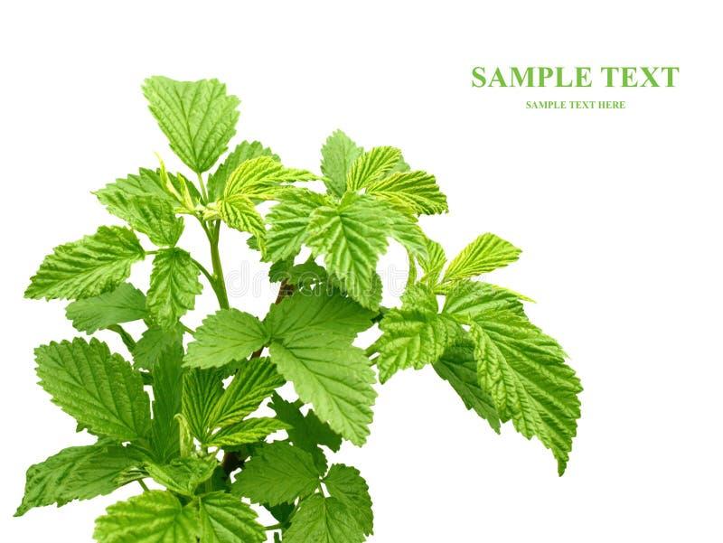 Folhas de uma framboesa imagem de stock