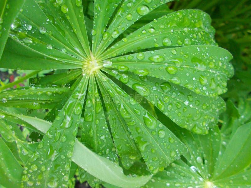 Folhas de uma planta bonita com gotas da chuva do campo fotografia de stock