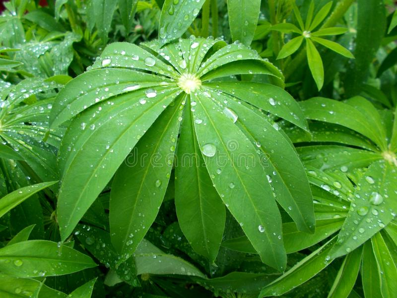 Folhas de uma planta bonita com gotas da chuva do campo fotos de stock royalty free