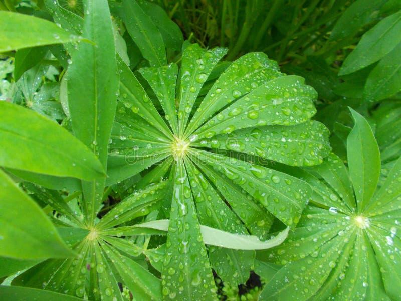 Folhas de uma planta bonita com gotas da chuva do campo imagens de stock