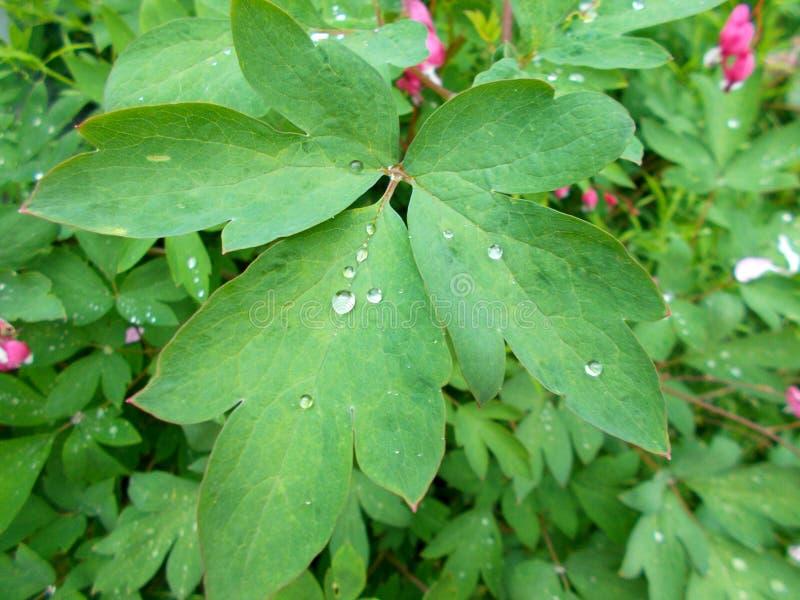 Folhas de uma planta bonita com gotas da chuva do campo fotografia de stock royalty free