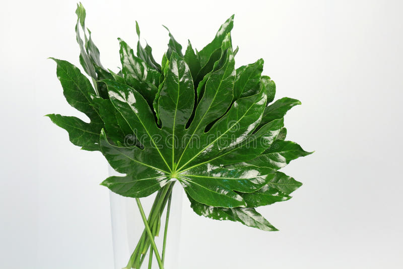 Folhas decorativas do verde no fundo branco fotografia de stock