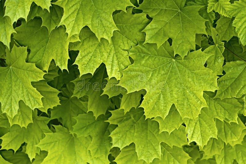 Folhas delicadas novas do bordo fotos de stock