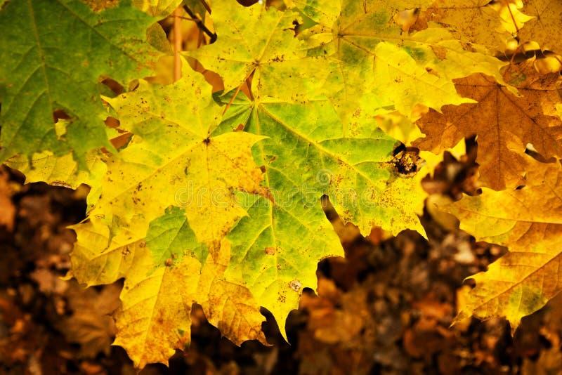 Folhas do amarelo do bordo imagens de stock royalty free