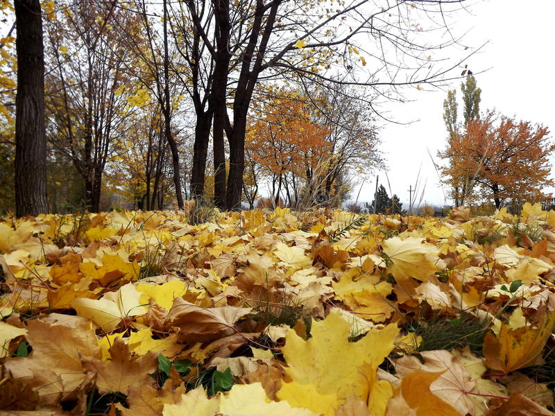 Folhas do amarelo do ouro na terra fotos de stock royalty free