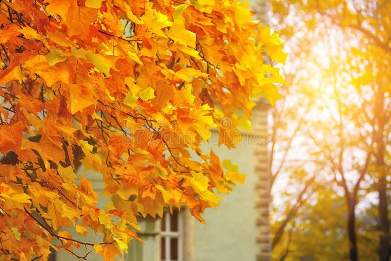 Folhas do amarelo do outono do bordo imagens de stock