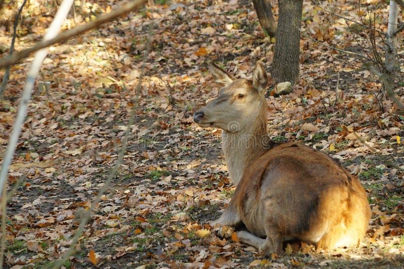 Folhas do amarelo do outono do resto dos cervos foto de stock