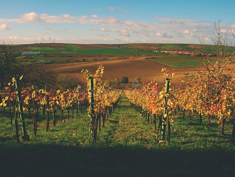 Folhas do amarelo em plantas da vinha no vinery O outono começa vineyar Tarde ventosa imagens de stock