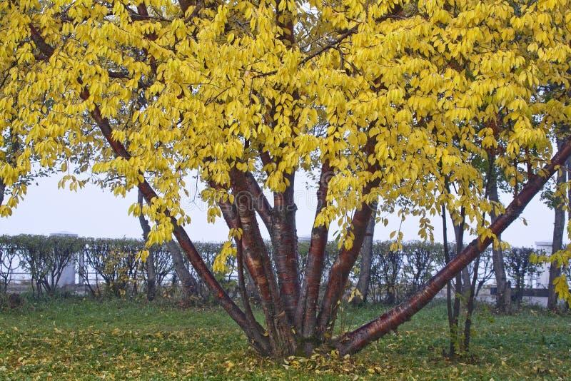 Folhas do amarelo em uma árvore imagem de stock royalty free