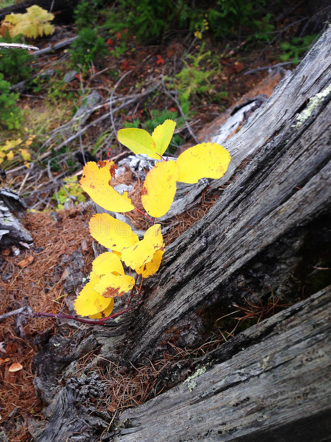 Folhas do amarelo na floresta do outono imagens de stock royalty free