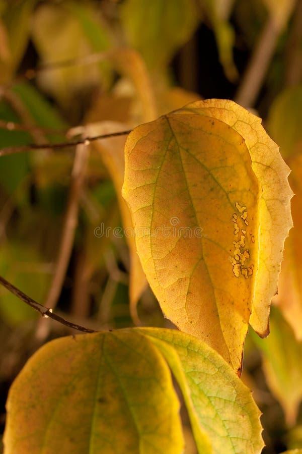 Folhas do amarelo no T imagens de stock royalty free