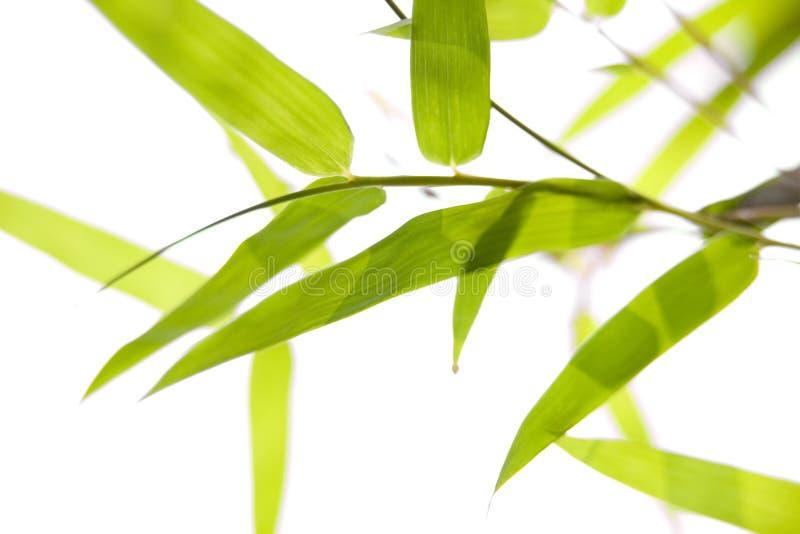 Folhas do bambu em filiais finas foto de stock royalty free