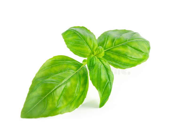 Folhas do basílico isoladas no branco fotografia de stock