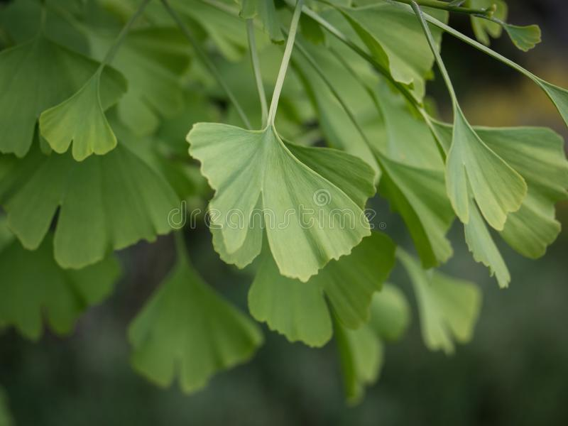 Folhas do biloba da nogueira-do-Japão fotografia de stock