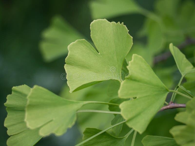 Folhas do biloba da nogueira-do-Japão imagens de stock