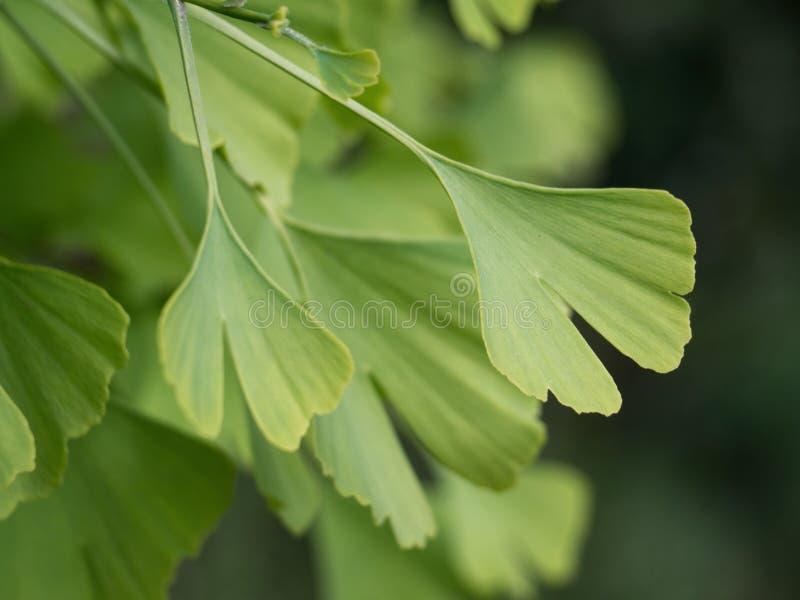 Folhas do biloba da nogueira-do-Japão foto de stock royalty free