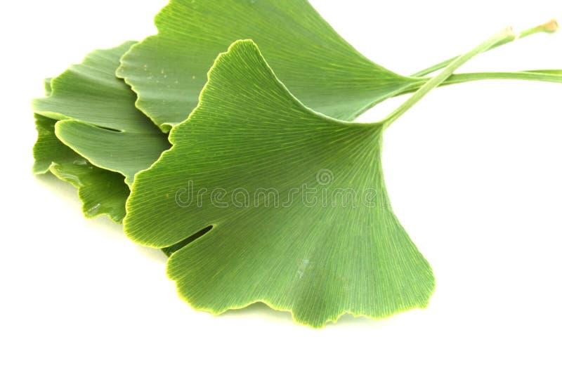 Folhas do biloba do Ginkgo no fundo branco imagem de stock