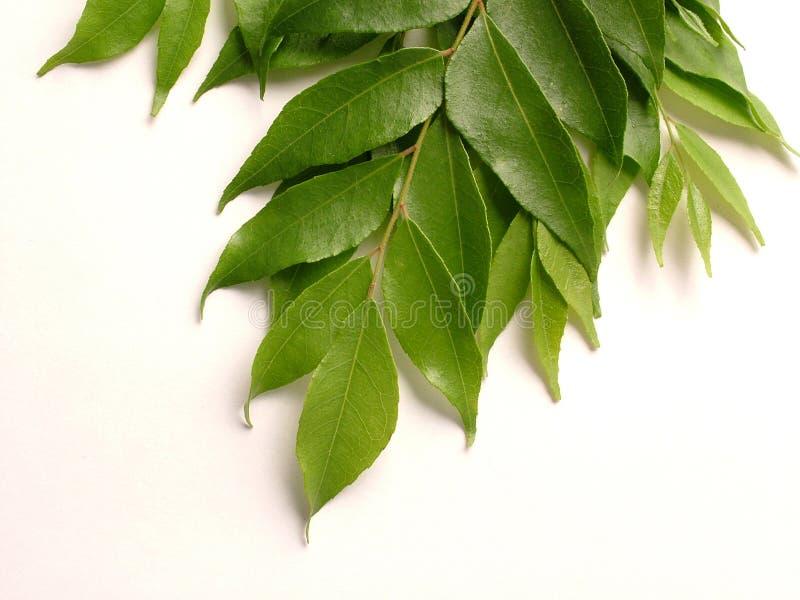 Folhas do caril foto de stock