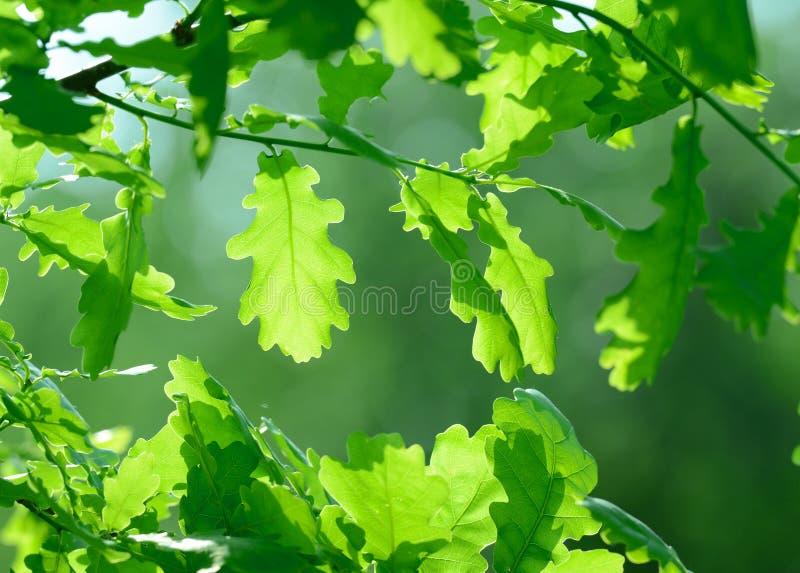 Folhas do carvalho imagens de stock royalty free