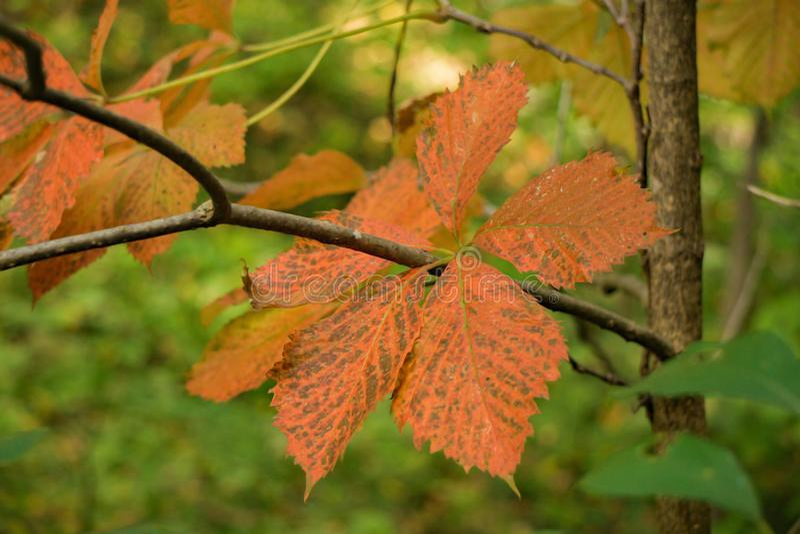Folhas do carvalho de castanha da montanha fotos de stock