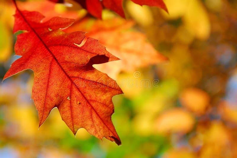 Folhas do carvalho do outono fotos de stock royalty free