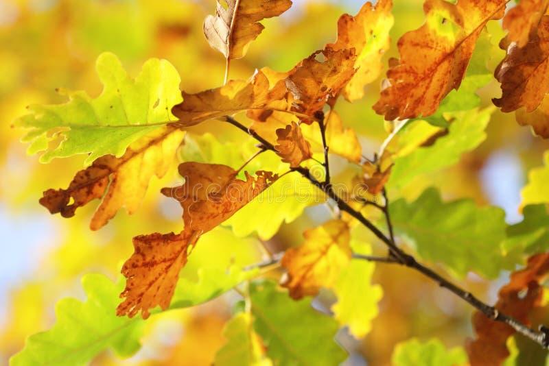 Folhas do carvalho do outono na luz da luz do sol fotos de stock