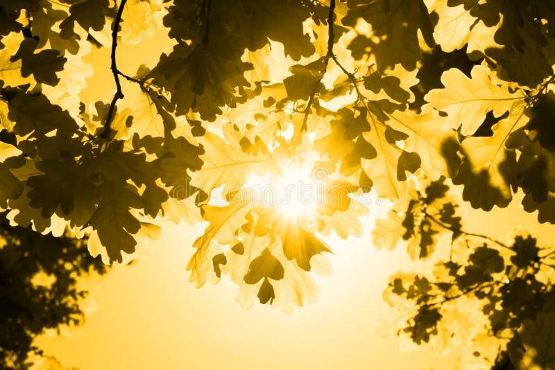 Folhas do carvalho e do sol fotografia de stock