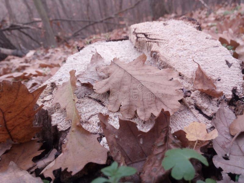 Folhas do carvalho em um coto fotografia de stock