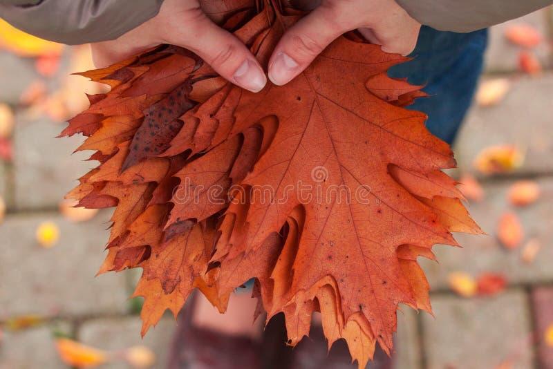 Folhas do carvalho nas mãos do ` s da mulher imagens de stock royalty free