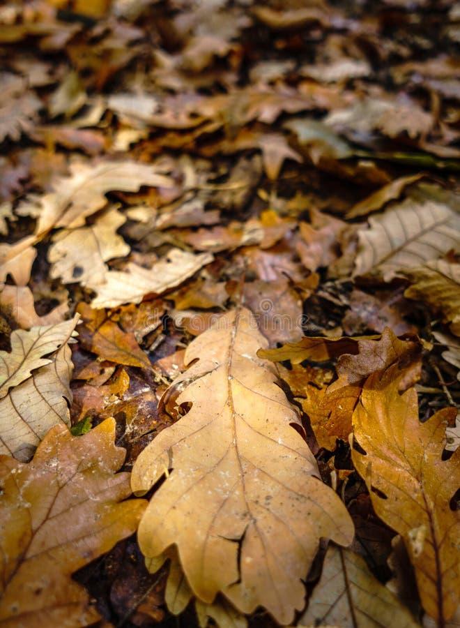 Folhas do carvalho no outono imagens de stock royalty free