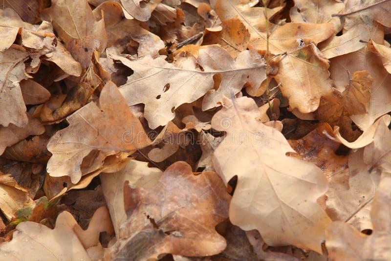 Folhas do carvalho no tapete amarelo à terra fotografia de stock