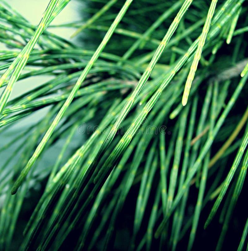 Folhas do Casuarina fotografia de stock