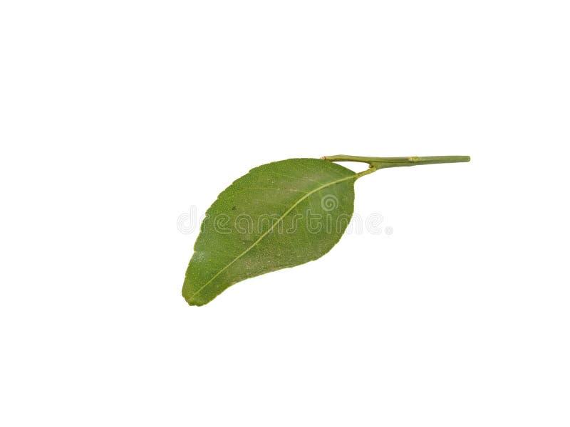 Folhas do citrino isoladas no fundo branco foto de stock royalty free