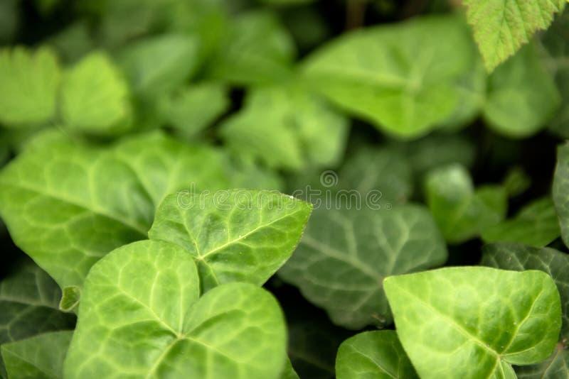 Folhas do close up verde fresco da hera imagens de stock royalty free