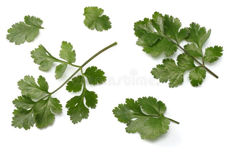 Folhas do coentro isoladas no fundo branco foto de stock royalty free