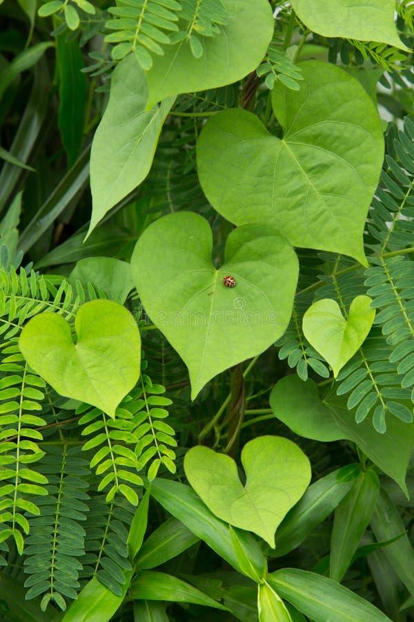 Folhas do coração e erro bonito da senhora imagens de stock royalty free