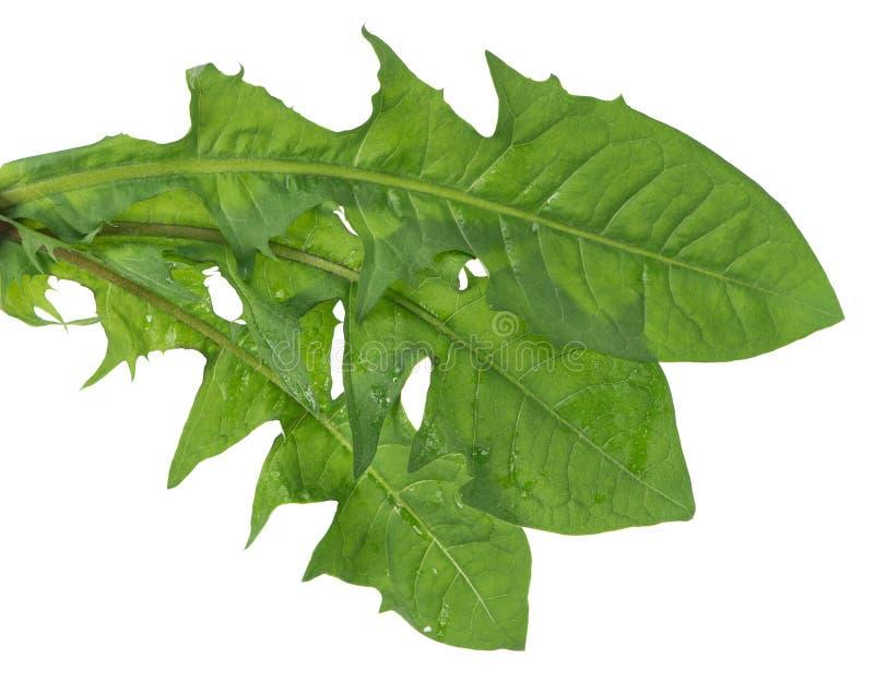 Folhas do dente-de-leão fotos de stock