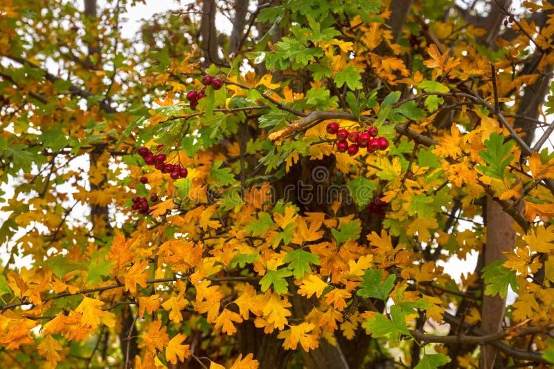 Folhas do espinho com bagas vermelhas, igualmente chamadas Thornapple, maio fotografia de stock