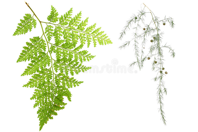 Folhas do Fern fotografia de stock royalty free