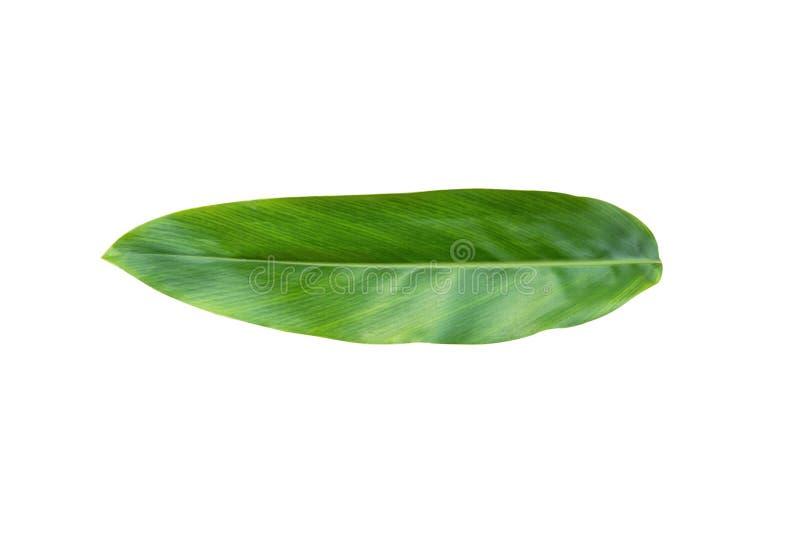 Folhas do Galangal isoladas no fundo branco Com trajeto de grampeamento foto de stock royalty free