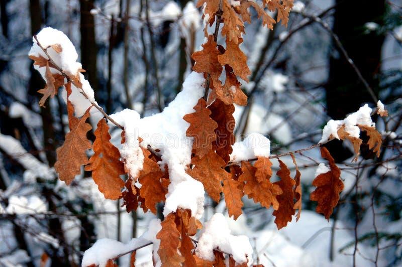 Folhas do gatilho sob a neve fotografia de stock