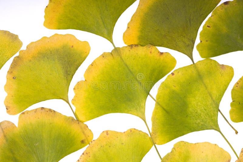 Folhas do Ginkgo fotografia de stock