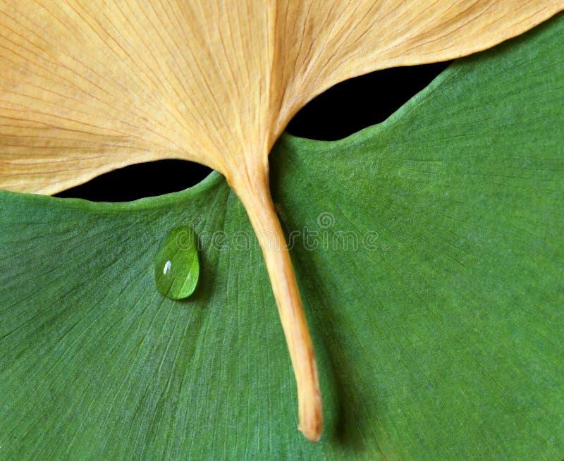 Download Folhas Do Ginkgo No Formulário Da Máscara Imagem de Stock - Imagem de expressão, sumário: 26507549